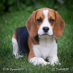 cum să slăbească beagle)