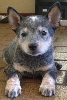 Australian cattle dog #blueheeler #dogs #animal #australian  #cattle