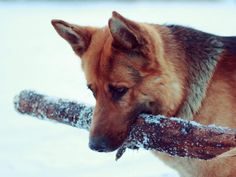 German Shepherd Playful Dog Face Lovely