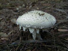 white amanita mushroom