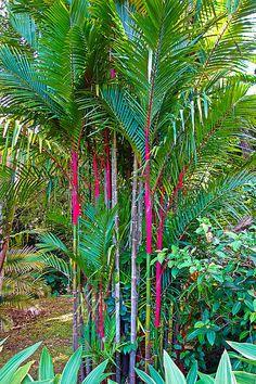 Red Bamboo V