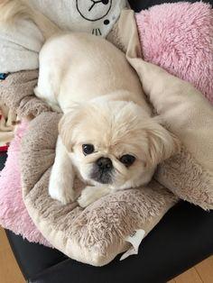 Resultado de imagen para 犬 pekingese 眠っている