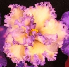 Mas Ching Dynasty - The Violet Barn - African Violets and More