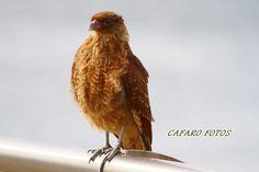 Chimango. Ushuaia Ushuaia, Parrot, Animales, Parrot Bird, Parrots