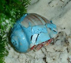 Say NO to painted shells for hermit crabs