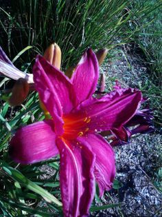 One of my daylilies.
