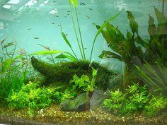 Freshwater Aquarium Plants