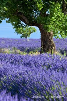 Lone tree in field of lavender along the Valensole Plateau, Provence France. © Brian Jannsen Photography | See more about lone tree, lavender and fields.