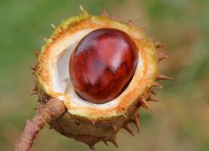 Horse Chestnut -Aesculus hippocastanum (19) Conkers, Plant Identification, Chestnut Horse, Tree Photography, Outdoor Plants, Amazing Art, Wildlife, Home And Garden, Nature