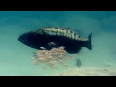 Baby fish hide inside mother's mouth - Animal Super Parents: Episode 1 Preview - BBC One - YouTube