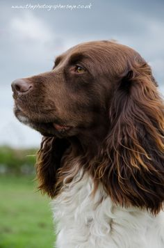 Home of the French Spaniel Working Springer Spaniel, English Springer Spaniel, Spaniel Dog, Spaniels, Hunting Dogs, Dogs Of The World, Dog Portraits, Mans Best Friend, I Love Dogs