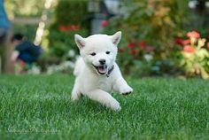 Mame Shiba Baby Loki, Education Canine, Dog Runs, Shiba Inu, Pet Collars, Cocker Spaniel, Dog Love, Dog Training, Best Dogs