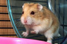 Bochdew - hamster The literal translation of bochdew is fat-cheek Welsh Names, Welsh Words, Fat, Language, Animals, Animales, Animaux, Languages, Animal