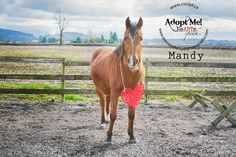 Mandy is a 15 year old 14.1hh Arabian X Bay mare with a star and snip and two hind socks who is currently available for adoption at circle f horse rescue. If you would like to learn more about her please contact circle f horse rescue at www.circlef.ca ©paws and tails pet photography 2013 www.pawsandtailspetphotography.com