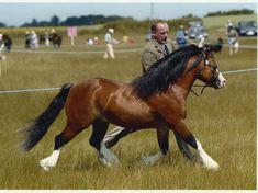 Tiffwyl McCoy  Sire : Maescwm Roscoe             Dam : Tiffwyl Melodi  Nynwood Stud Welsh Mountain Ponies - Stallions
