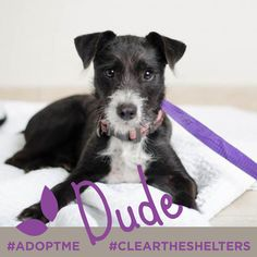 Meet Dude, while he may still be a puppy (6 months) but he's already proven to be mellow, calm and patient. He's good with kids and loves people. What a great combo with his puppy-like energy & excitement! He is currently being cared for by our friends at  Second Hand Hounds Visit their site for more details…