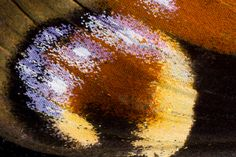Butterfly Wing Macro photograph by:  Darrell Gulin