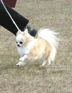 This long coated Chihuahua is trucking along.