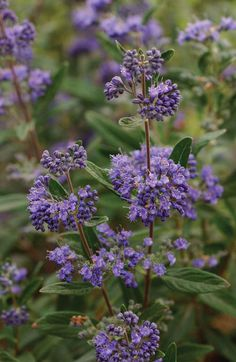 Caryopteris x clandonensis from Proven Winners