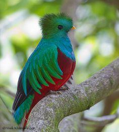ケツァールは世界一美しい鳥 でもかわいい