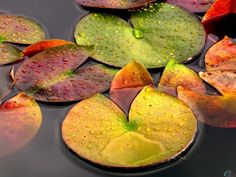 Lilly pads in autumn