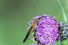写真 アザミ 蜂が受粉させられている所をMacroレンズで狙った