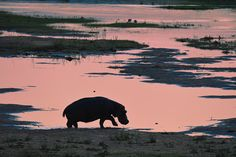 Silhouette of Hippo in Letaba River image taken from Letaba Bridge Africa Silhouette, Eagle Silhouette, Kruger National Park, National Parks, African Tree, Silhouette Pictures, African Sunset, Silhouette Photography, Africa Travel