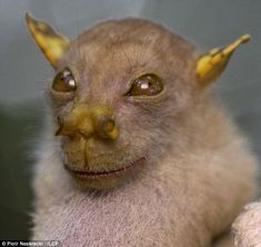 Tube-Nosed Bat, discovered in Papua, New Guinea: Jedi Master?  #Bat #New_Guinea