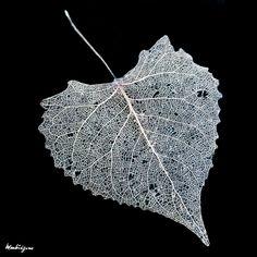 https://flic.kr/p/8BHwGX | Lace Leaf - Feuille en dentelle | Poplar leaf - Feuille de tremble Populus (Salicaceae)