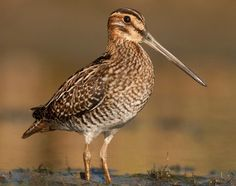 snipe - Google Search