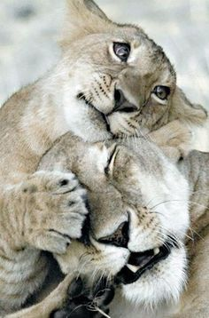 Lion Löwe
