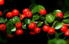 Cotoneaster bushes (image) have bright red berries. The tiny leaves give a fine texture. - David Beaulieu