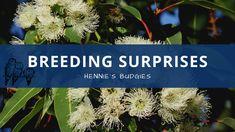 Breeding Surprises #Budgies – Hennie's Budgies
