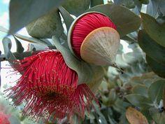 Mottlecah Eucalyptus macrocarpa subsp. elachant (by air62)