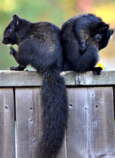 I'd looove to see a black squirrel in my yard. Forest Animals, Nature Animals, Animals And Pets, Funny Animals, Cute Animals, Wild Animals, Black Squirrel, Cute Squirrel, Squirrels