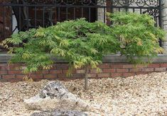 érable-du-Japon-espèce-Green-Cascade-Maple
