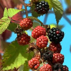 Blackberry, Healing, Herbs, Gardening, Fruit, Nature, Food, Naturaleza, Lawn And Garden