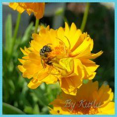 Sarı çiçekte sarı avcı!  Sabah Emir'le çiçekleri budarken karşılaştığımız manzara.  Bahçemizde doğal hayatın devam ettiği doğrudur  #örümcek #avcı #bahçemiz #bahçemizden #çiçek #doğa #arı
