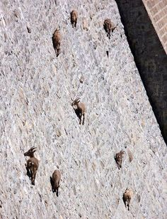 Incredible: Goats climbing the side of a big dam in Italy. I'll share a further view of the dam in my next pin. #dam #goats