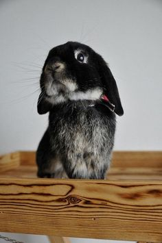 For those who are searching for a furry companion that is not only cute, but simple to have, then look no further than a family pet bunny. Cute Baby Bunnies, Baby Animals Super Cute, Cute Little Animals, Cute Funny Animals, Bunny Bunny, Bunny Rabbits, Chinchilla, Baby Animals Pictures, Little Critter