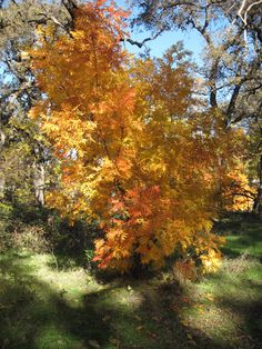 Chico in Autumn...such a dream!