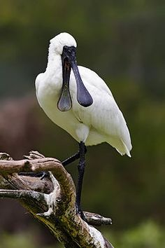 Spoon Bills are long legged, wading birds which feed in shallow waters by sweeping their partly open bills from side to side, snapping shut when an insect, tiny fish or crustacean touches the inside of the bill. #Spoonbill #Wikipedia