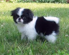 Japanese Chin...... Everyone ask if my Ottis is one, I might start saying yes cause he looks so much like it!
