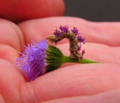 Camouflaged looper inchworm disguises itself to look like a flower.  It glues tiny pieces flowers to itself to blend in (photo courtesy of Neatorama)