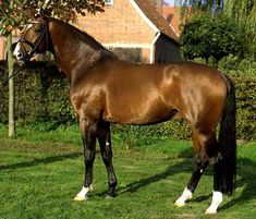 Westphalian Horse - one of the warmblood breeds - used for dressage, jumping, etc.