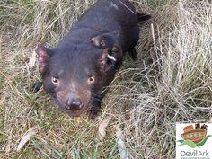 Tasmanian devil joey and mother at Devil Ark