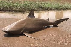 Shark washed up in Ayr