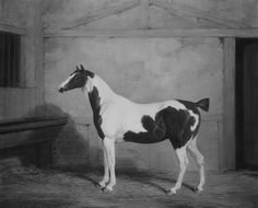 A pinto horse in a classical etching. Although the horse's head is a bit too flat to be realistic, its pattern is pictured beautifully and was probably the whole barn's envy. Not very sure which pattern this is, but msot likely a tobiano (four white legs) with sabino giving it a blaze and amping up and 'breaking' the white blotches. A shame the tail is docked; this is unfortunate for the horse, and tobianos often have very flashy tails.