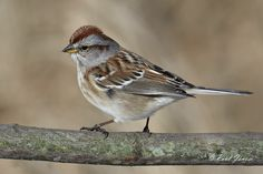 American Tree Sparrow by Paul Janosi on 500px
