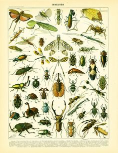 """French antique print published in Paris by LAROUSSE between 1897 and 1907. Not a copy. Taken from the """"Nouveau Larousse illustré"""". Frame it or use it for cards, scrapbookin... #illustration #entomology #entomological #beetles #dragonfly"""